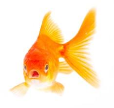 cropped-goldfish21.jpg